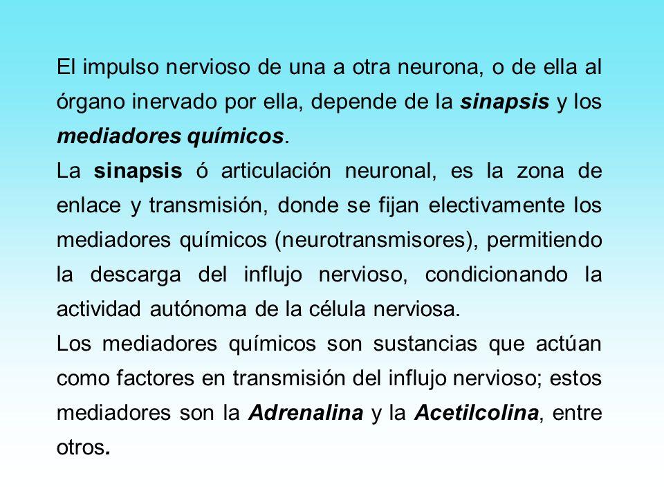 El impulso nervioso de una a otra neurona, o de ella al órgano inervado por ella, depende de la sinapsis y los mediadores químicos. La sinapsis ó arti