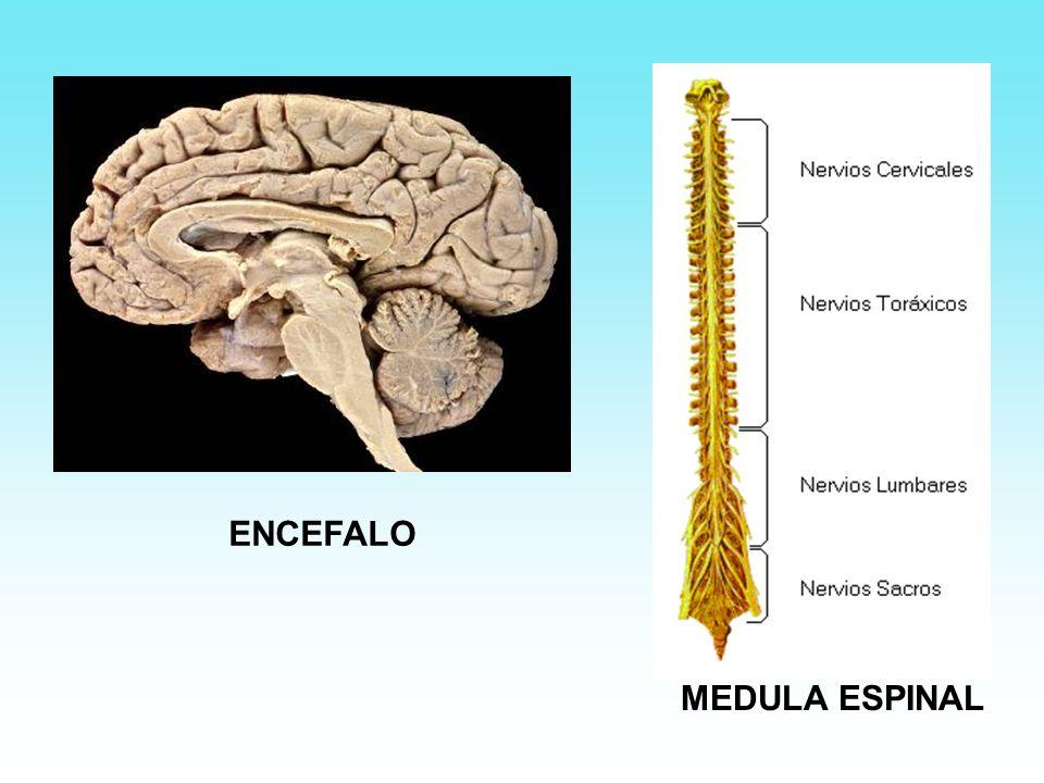 Sistema nervioso periférico ó vegetativo: consta de los nervios craneales y raquídeos y sus ganglios y se divide en: Simpático y Parasimpático.
