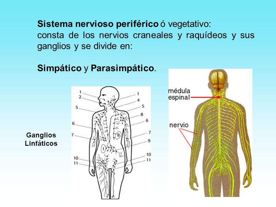 Sistema nervioso periférico ó vegetativo: consta de los nervios craneales y raquídeos y sus ganglios y se divide en: Simpático y Parasimpático. Gangli
