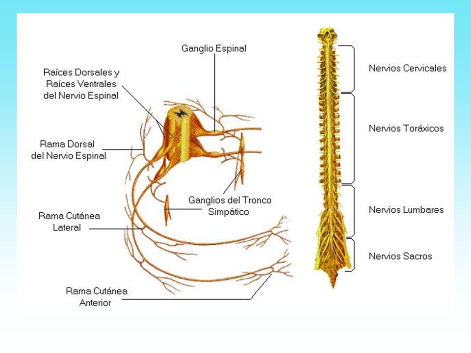 Se denomina encéfalo, a la porción del sistema nervioso encerrado en la cavidad craneal y continúa con la médula espinal atráves del agujero occipital.