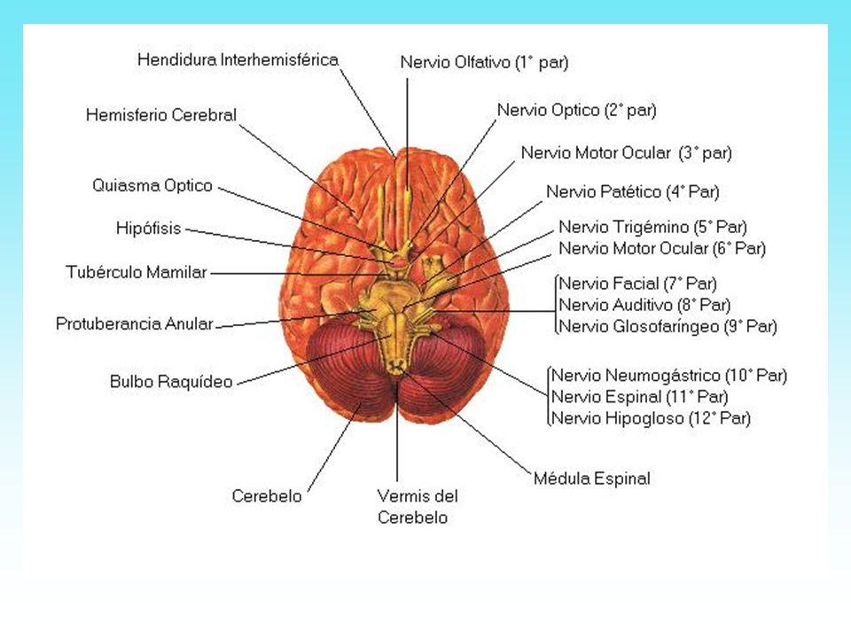 El Bulbo raquídeo es de forma cónica y une la protuberancia situada por encima, con la médula espinal, situada por debajo.