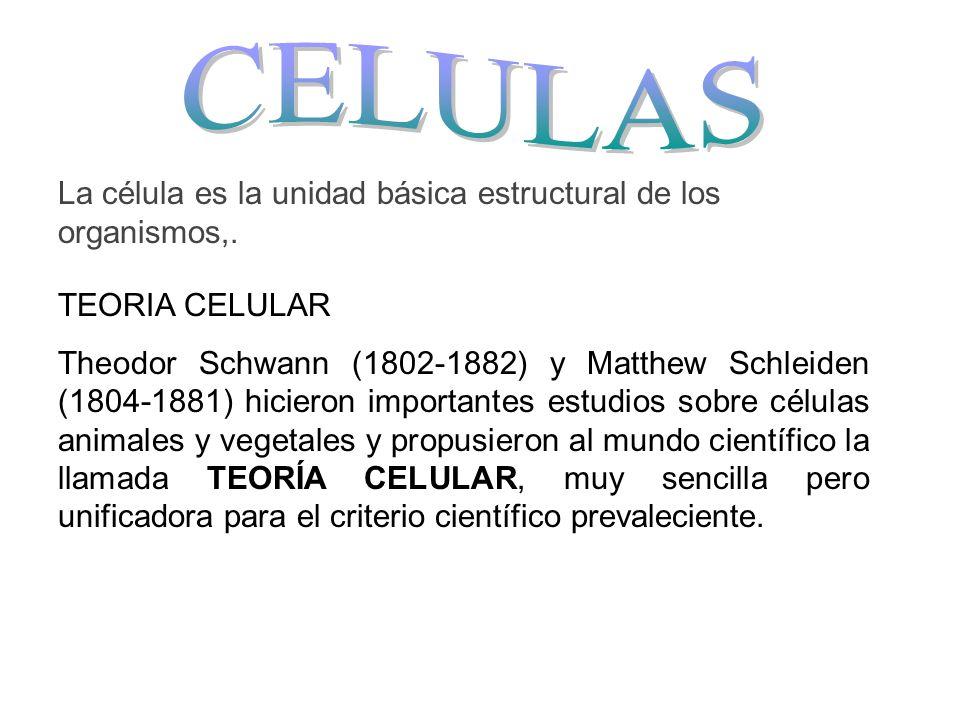 La célula es la unidad básica estructural de los organismos,. TEORIA CELULAR Theodor Schwann (1802-1882) y Matthew Schleiden (1804-1881) hicieron impo