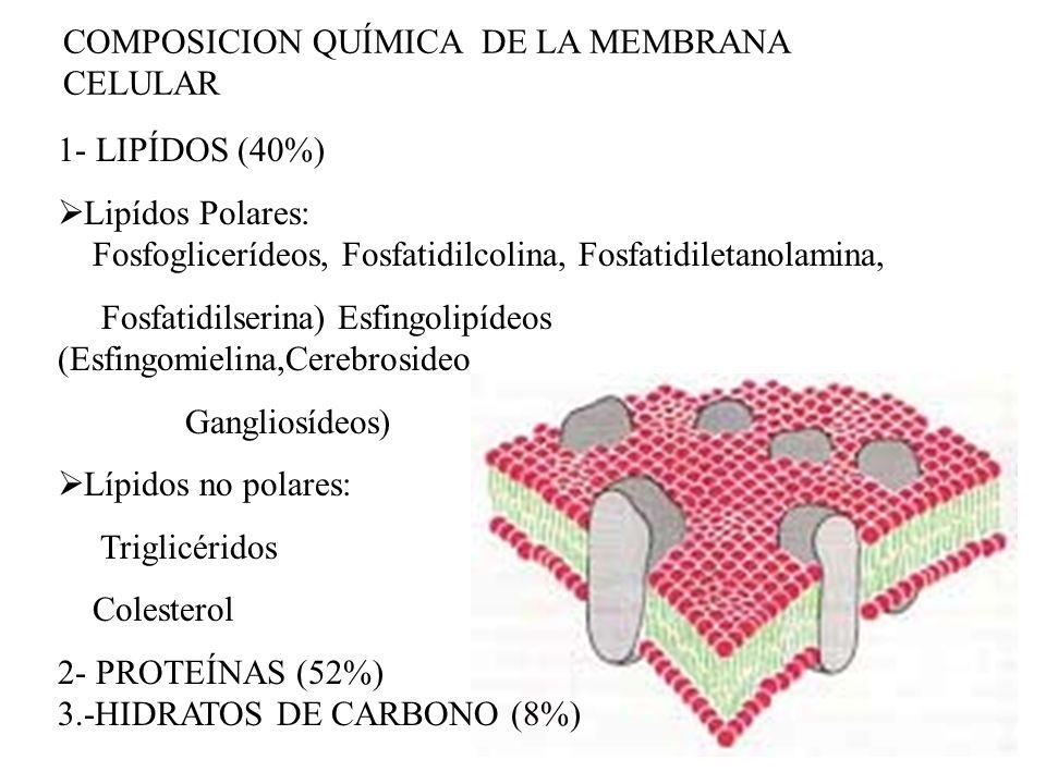 COMPOSICION QUÍMICA DE LA MEMBRANA CELULAR 1- LIPÍDOS (40%) Lipídos Polares: Fosfoglicerídeos, Fosfatidilcolina, Fosfatidiletanolamina, Fosfatidilseri