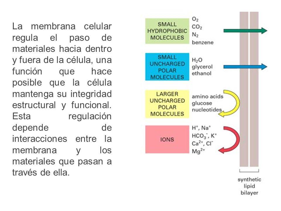 La membrana celular regula el paso de materiales hacia dentro y fuera de la célula, una función que hace posible que la célula mantenga su integridad