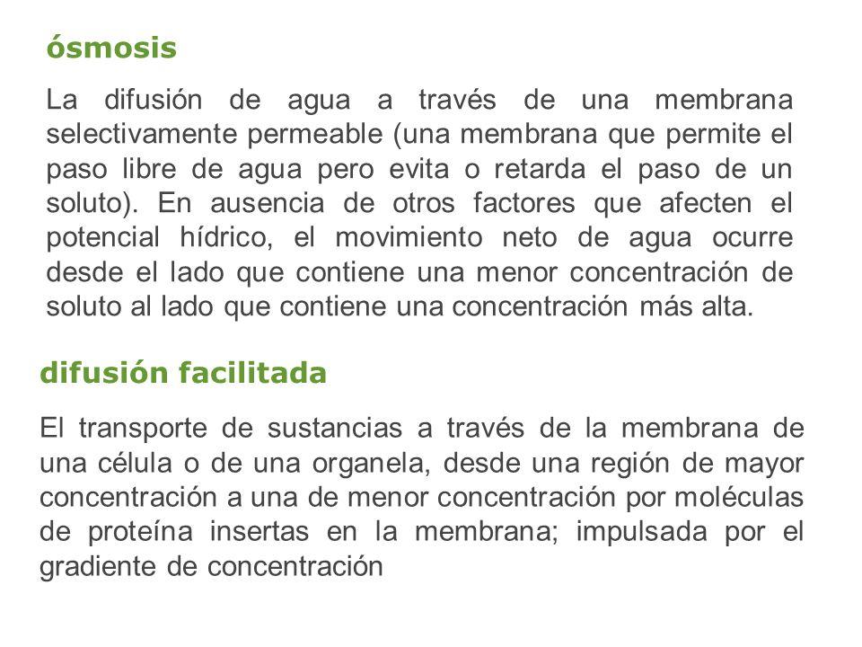 ósmosis La difusión de agua a través de una membrana selectivamente permeable (una membrana que permite el paso libre de agua pero evita o retarda el