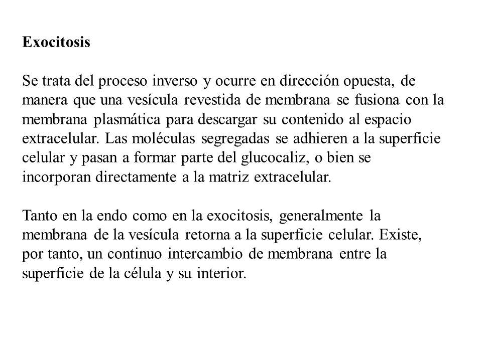 Exocitosis Se trata del proceso inverso y ocurre en dirección opuesta, de manera que una vesícula revestida de membrana se fusiona con la membrana pla