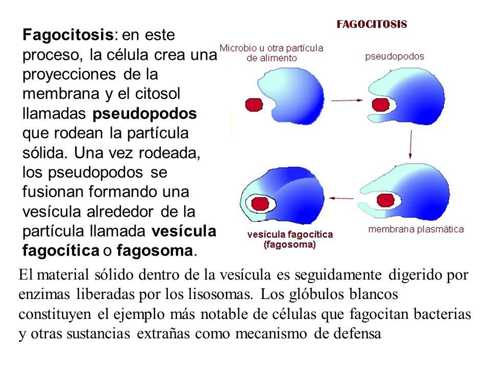 Fagocitosis: en este proceso, la célula crea una proyecciones de la membrana y el citosol llamadas pseudopodos que rodean la partícula sólida. Una vez