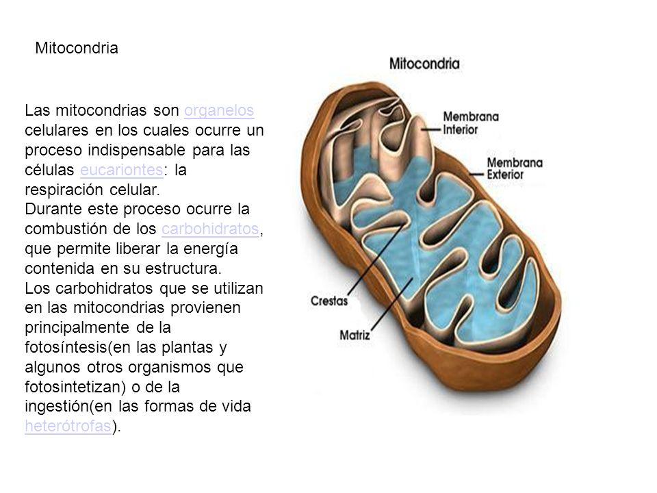 Mitocondria Las mitocondrias son organelos celulares en los cuales ocurre un proceso indispensable para las células eucariontes: la respiración celula