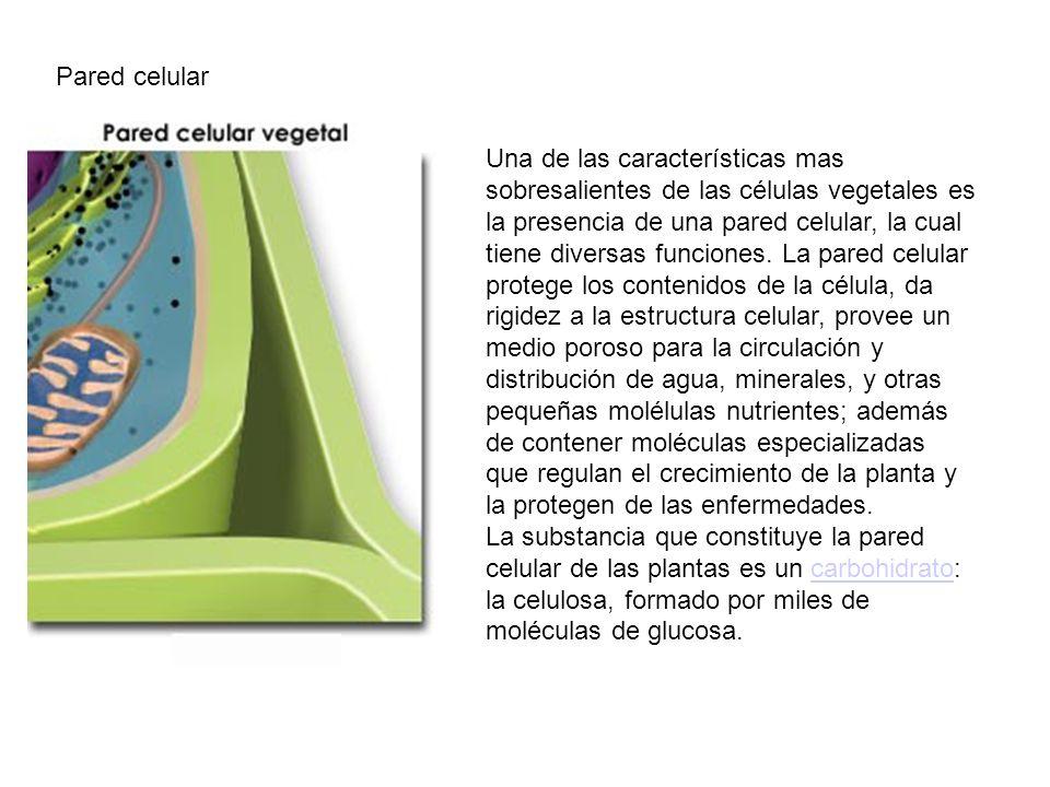 Pared celular Una de las características mas sobresalientes de las células vegetales es la presencia de una pared celular, la cual tiene diversas func