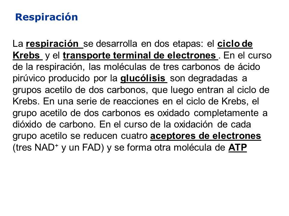 Respiración La respiración se desarrolla en dos etapas: el ciclo de Krebs y el transporte terminal de electrones. En el curso de la respiración, las m