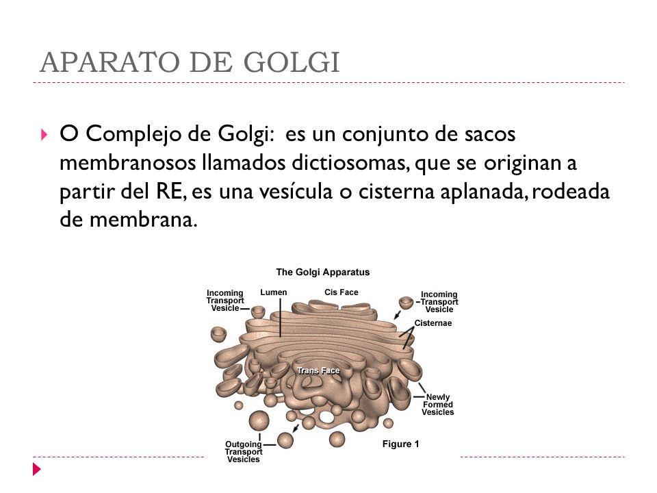 APARATO DE GOLGI O Complejo de Golgi: es un conjunto de sacos membranosos llamados dictiosomas, que se originan a partir del RE, es una vesícula o cis