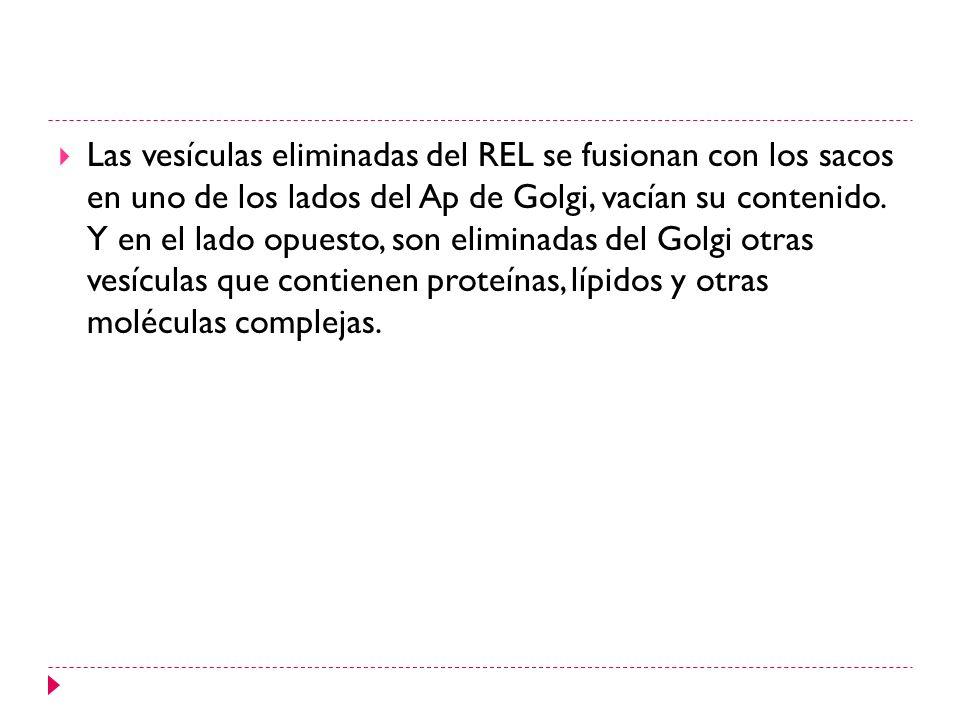 Las vesículas eliminadas del REL se fusionan con los sacos en uno de los lados del Ap de Golgi, vacían su contenido. Y en el lado opuesto, son elimina