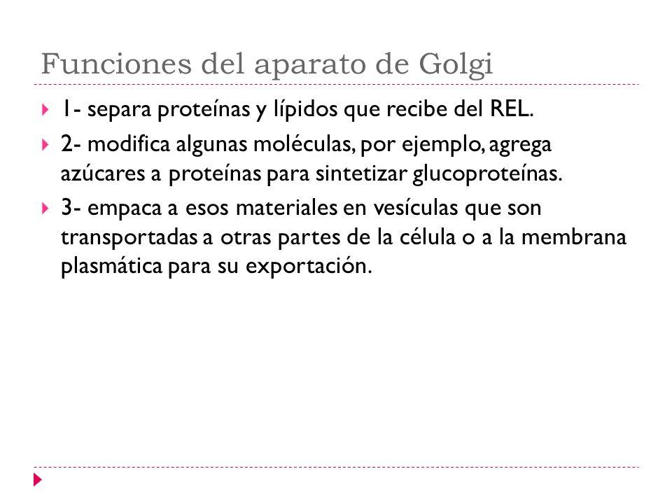 Funciones del aparato de Golgi 1- separa proteínas y lípidos que recibe del REL. 2- modifica algunas moléculas, por ejemplo, agrega azúcares a proteín