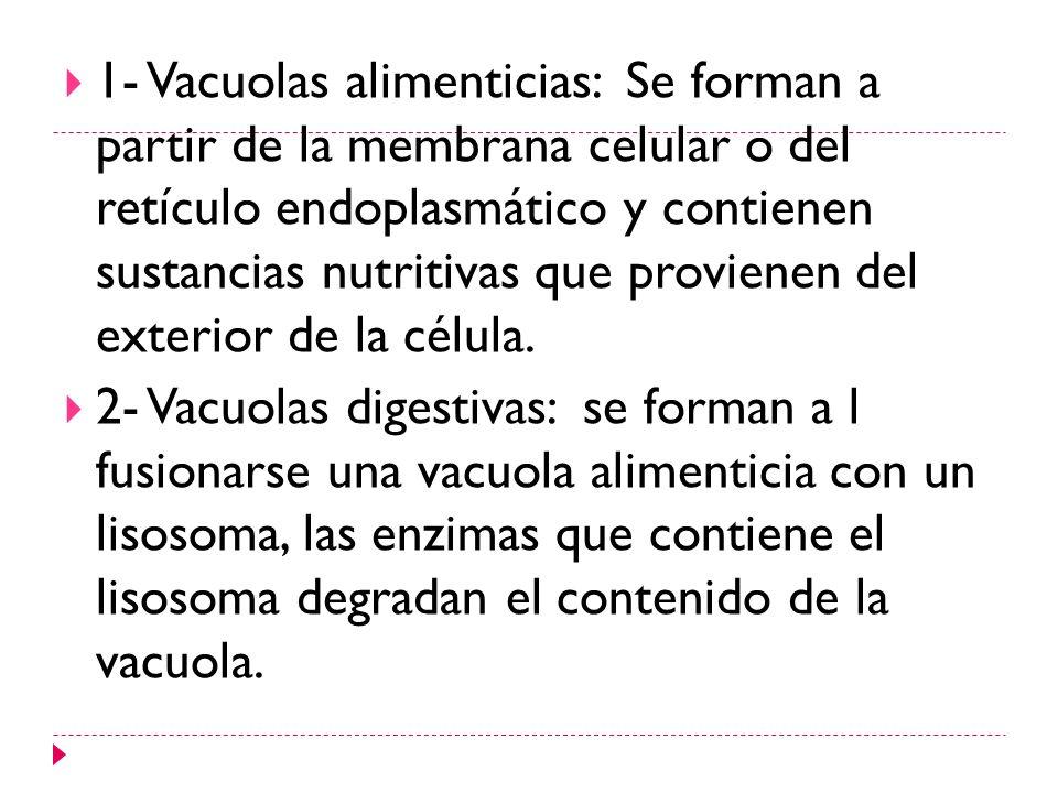 1- Vacuolas alimenticias: Se forman a partir de la membrana celular o del retículo endoplasmático y contienen sustancias nutritivas que provienen del