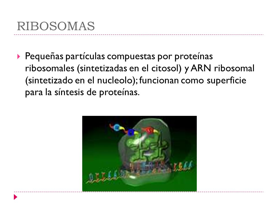 RIBOSOMAS Pequeñas partículas compuestas por proteínas ribosomales (sintetizadas en el citosol) y ARN ribosomal (sintetizado en el nucleolo); funciona