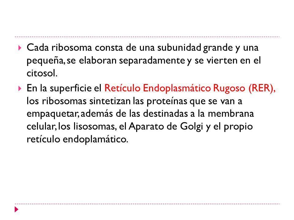 Cada ribosoma consta de una subunidad grande y una pequeña, se elaboran separadamente y se vierten en el citosol. En la superficie el Retículo Endopla