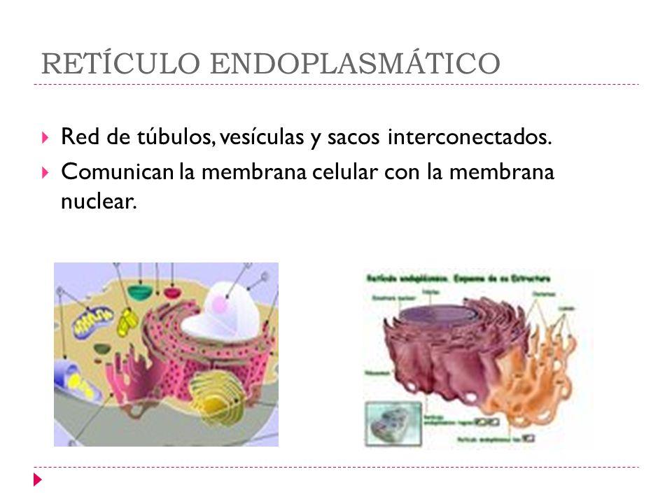 RETÍCULO ENDOPLASMÁTICO Red de túbulos, vesículas y sacos interconectados. Comunican la membrana celular con la membrana nuclear.
