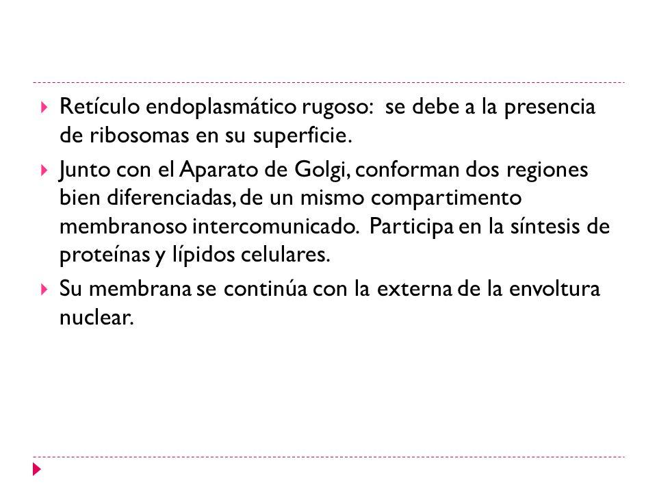 Retículo endoplasmático rugoso: se debe a la presencia de ribosomas en su superficie. Junto con el Aparato de Golgi, conforman dos regiones bien difer