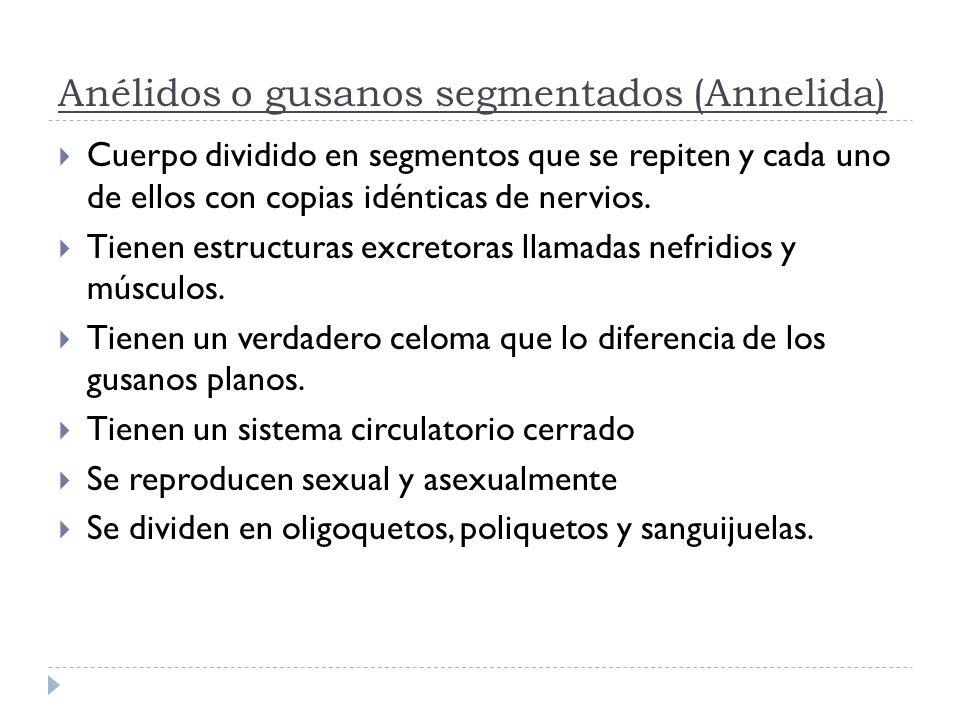 Anélidos o gusanos segmentados (Annelida) Cuerpo dividido en segmentos que se repiten y cada uno de ellos con copias idénticas de nervios. Tienen estr