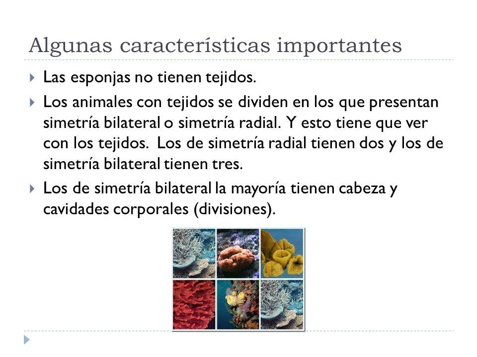 Algunas características importantes Las esponjas no tienen tejidos. Los animales con tejidos se dividen en los que presentan simetría bilateral o sime