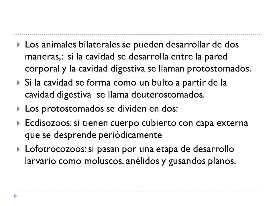 Los animales bilaterales se pueden desarrollar de dos maneras,: si la cavidad se desarrolla entre la pared corporal y la cavidad digestiva se llaman p