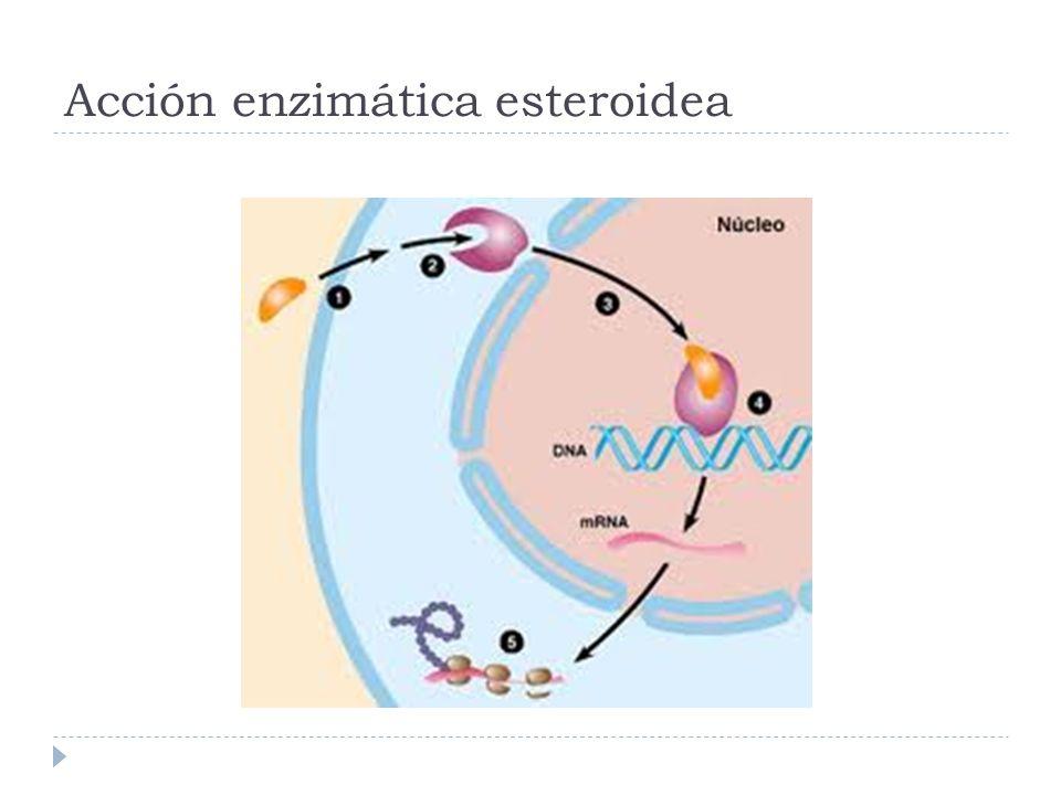 Acción enzimática esteroidea