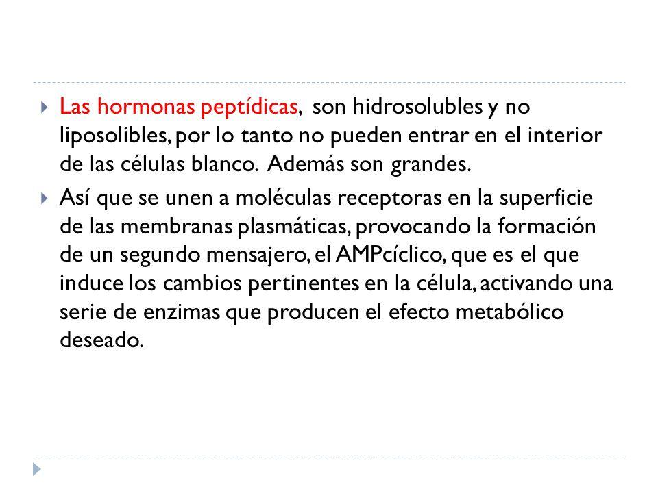 Las hormonas peptídicas, son hidrosolubles y no liposolibles, por lo tanto no pueden entrar en el interior de las células blanco. Además son grandes.