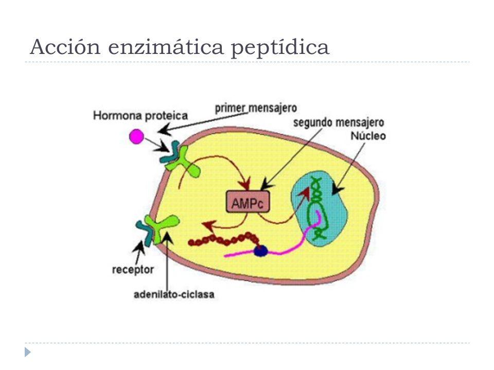 Acción enzimática peptídica
