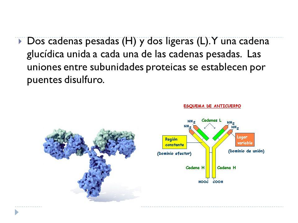 Dos cadenas pesadas (H) y dos ligeras (L). Y una cadena glucídica unida a cada una de las cadenas pesadas. Las uniones entre subunidades proteicas se