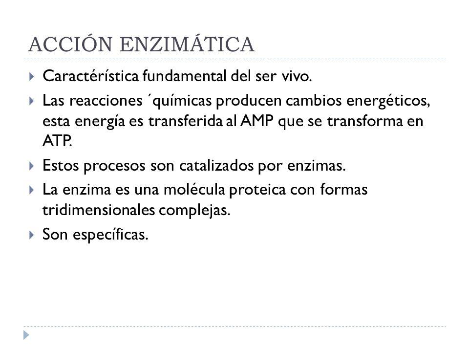 ACCIÓN ENZIMÁTICA Caractérística fundamental del ser vivo. Las reacciones ´químicas producen cambios energéticos, esta energía es transferida al AMP q