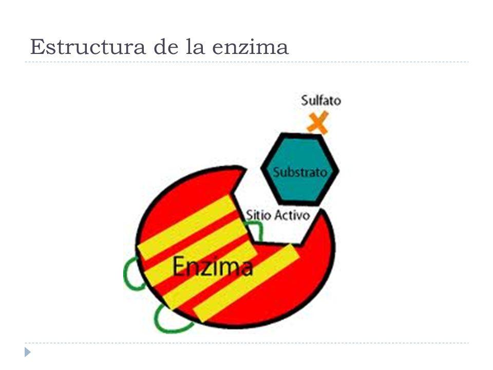 Estructura de la enzima