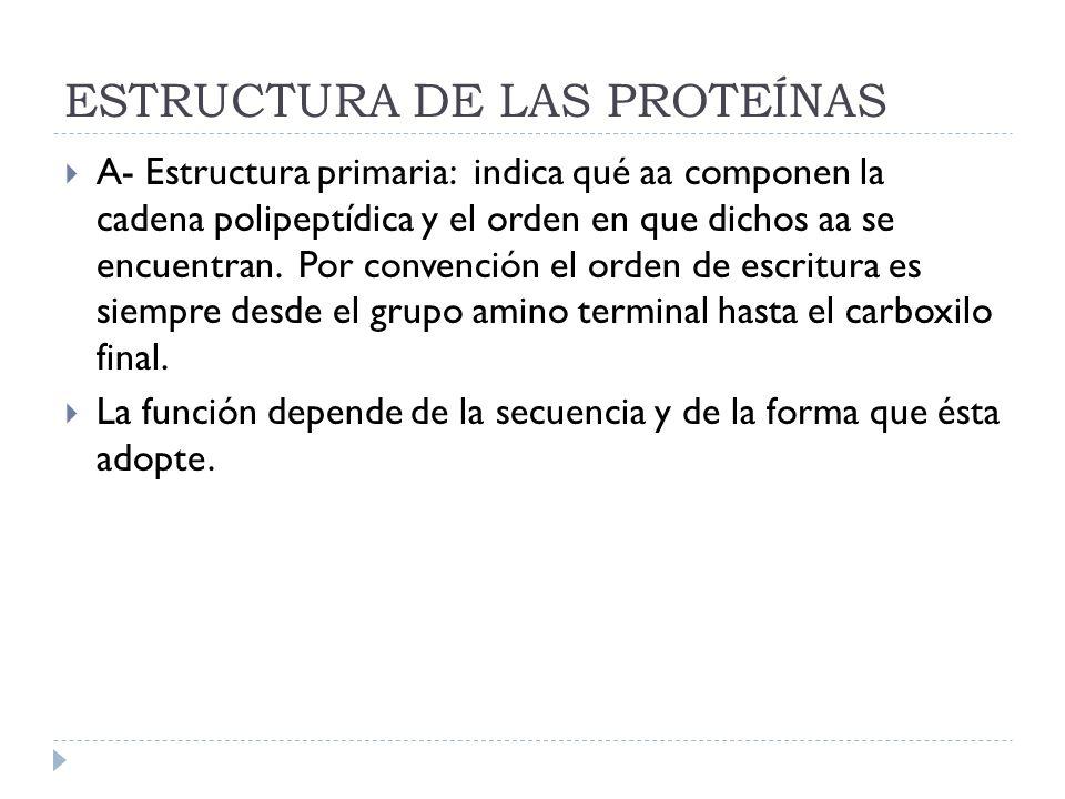ESTRUCTURA DE LAS PROTEÍNAS A- Estructura primaria: indica qué aa componen la cadena polipeptídica y el orden en que dichos aa se encuentran. Por conv