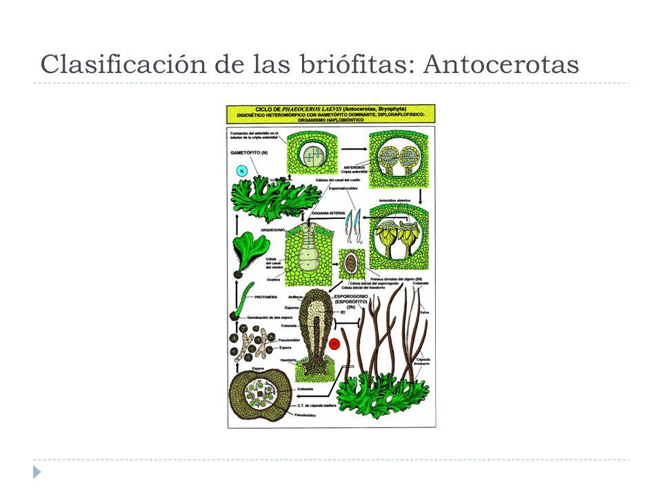Clasificación de las briófitas: Antocerotas
