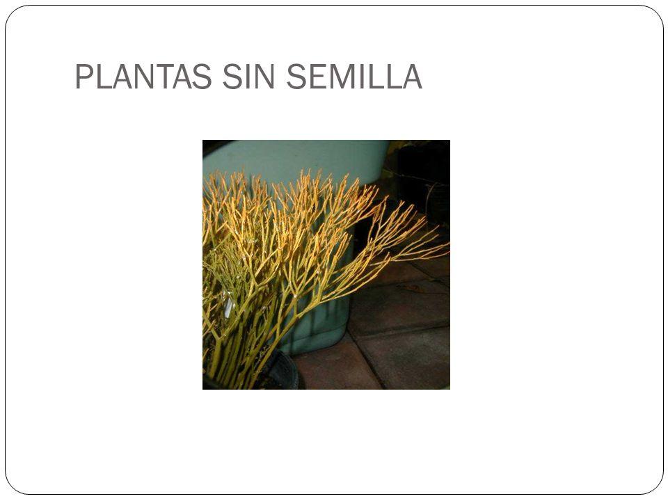 PLANTAS SIN SEMILLA