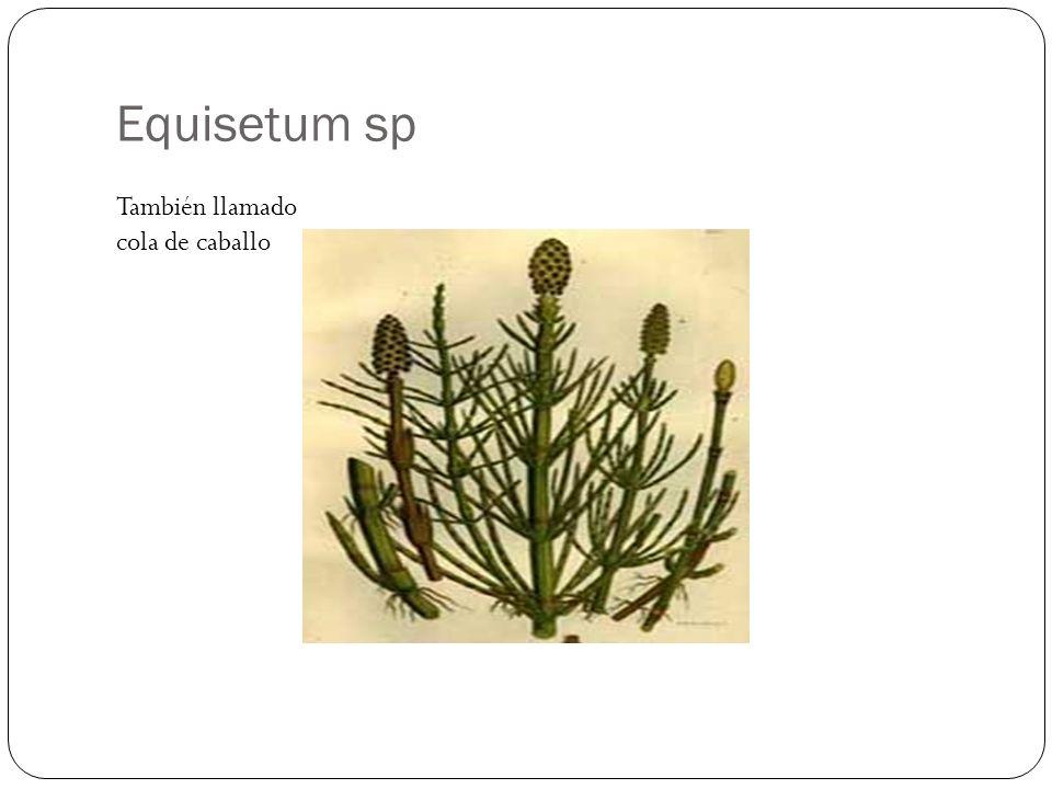 Equisetum sp También llamado cola de caballo