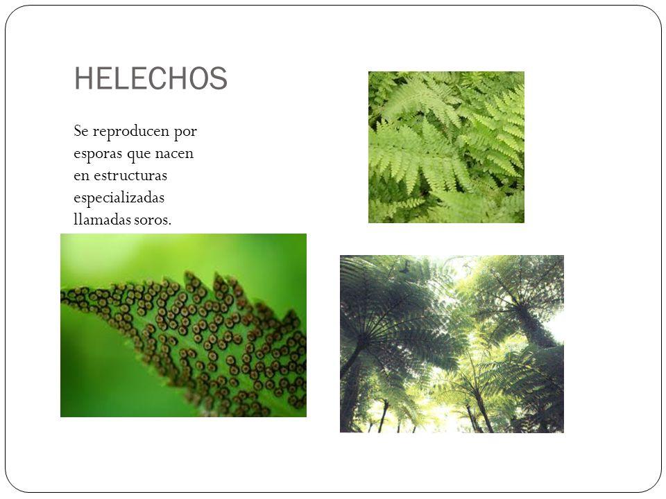 HELECHOS Se reproducen por esporas que nacen en estructuras especializadas llamadas soros.