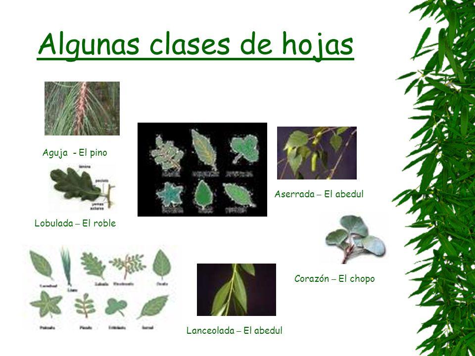 Las plantas le ñ osas se dividen en á rboles o arbustos Un solo tronco alargado, con ramas a cierta distancia del suelo. De mediano tama ñ o con ramas