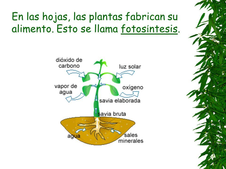 Algunas clases de hojas Aguja - El pino Lobulada – El roble Aserrada – El abedul Corazón – El chopo Lanceolada – El abedul