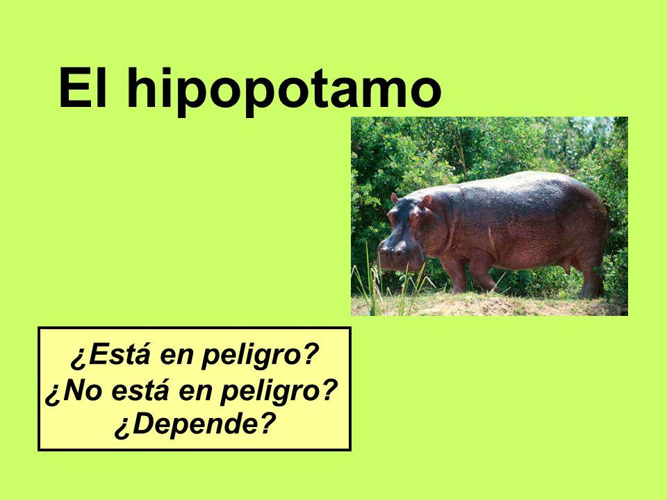 El hipopotamo ¿Está en peligro ¿No está en peligro ¿Depende