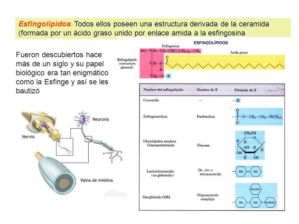 Esfingolípidos. Todos ellos poseen una estructura derivada de la ceramida (formada por un ácido graso unido por enlace amida a la esfingosina Fueron d