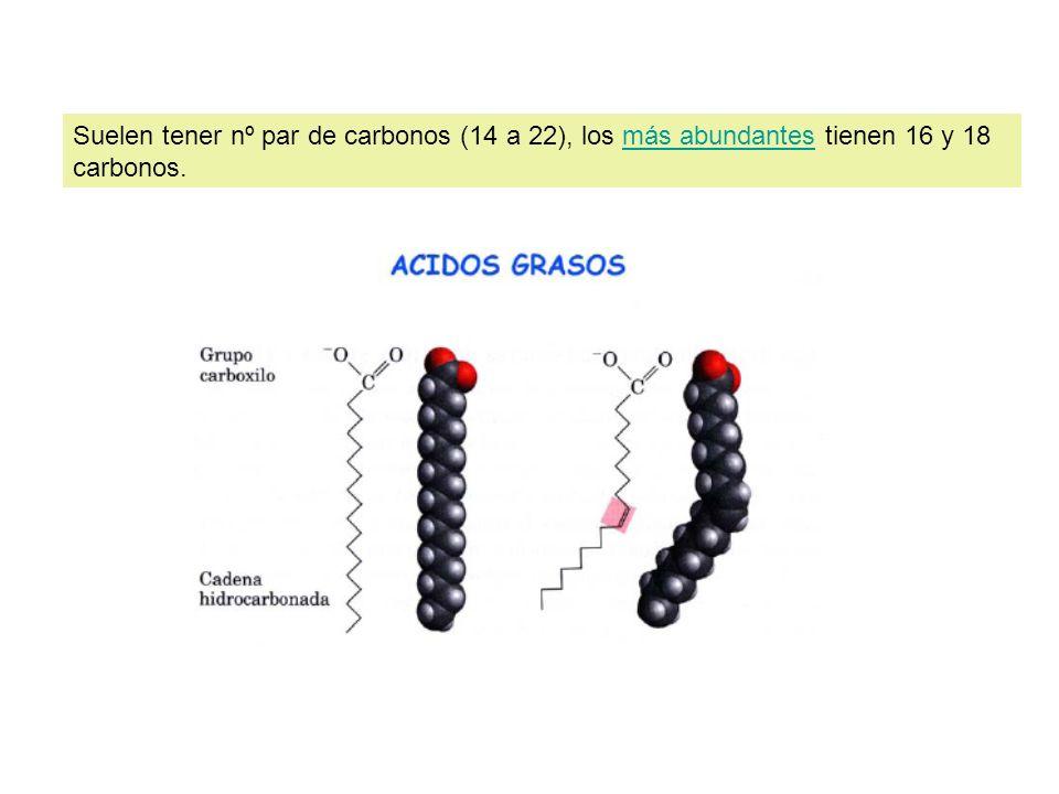 Suelen tener nº par de carbonos (14 a 22), los más abundantes tienen 16 y 18 carbonos.más abundantes