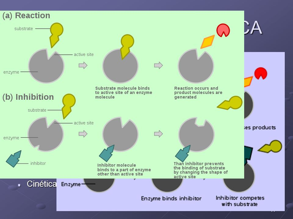 11 REGULACIÓN ENZIMÁTICA INHIBICIÓN Reversible Reversible Irreversible: Irreversible: cianuro (citocromo oxidasa) Insecticidas organofosforados (aceti