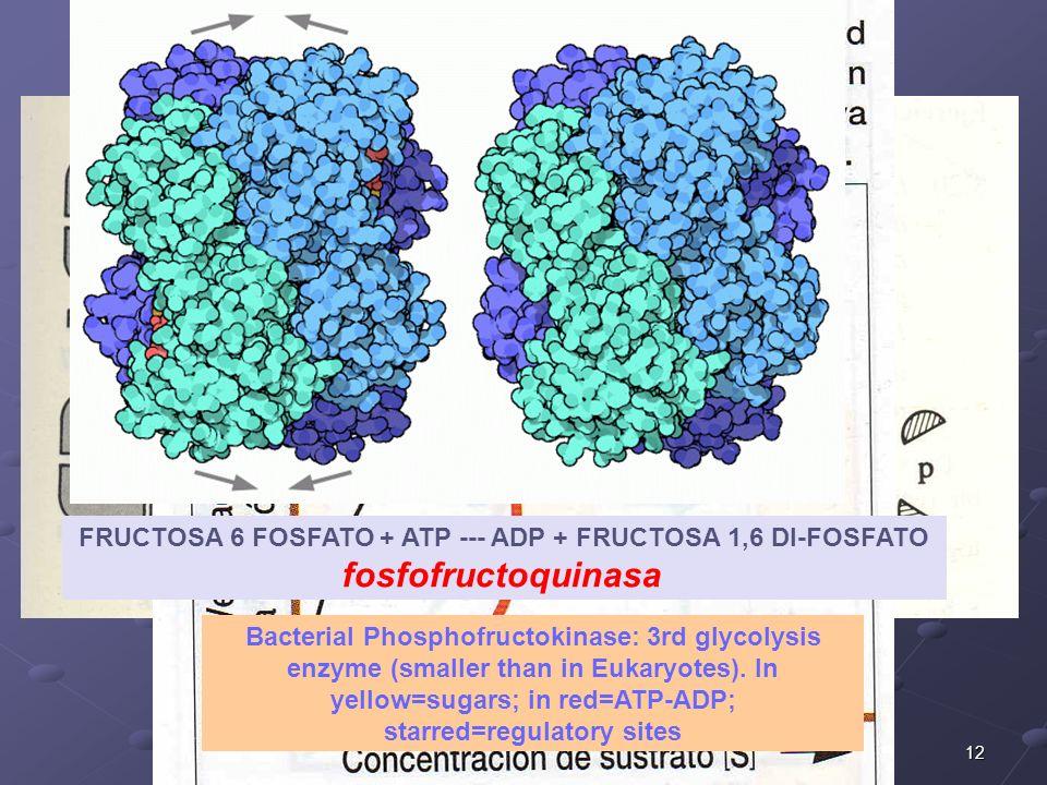 12 FRUCTOSA 6 FOSFATO + ATP --- ADP + FRUCTOSA 1,6 DI-FOSFATO fosfofructoquinasa Bacterial Phosphofructokinase: 3rd glycolysis enzyme (smaller than in