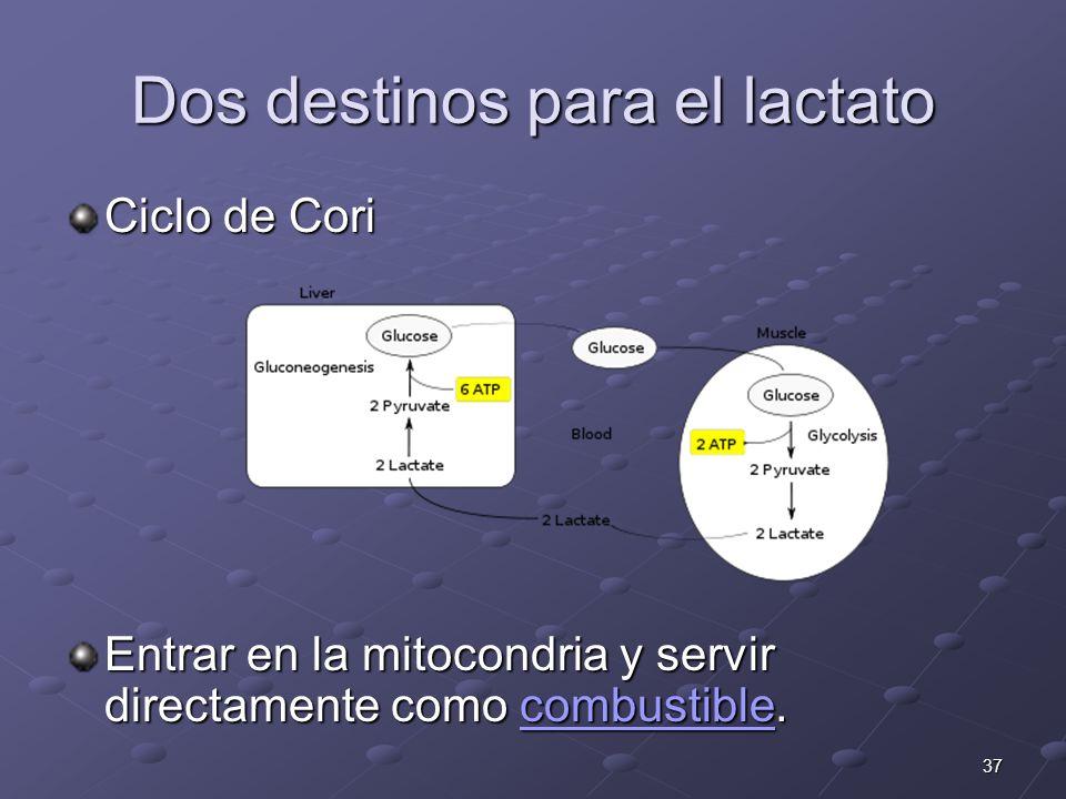 37 Dos destinos para el lactato Ciclo de Cori Entrar en la mitocondria y servir directamente como combustible. combustible