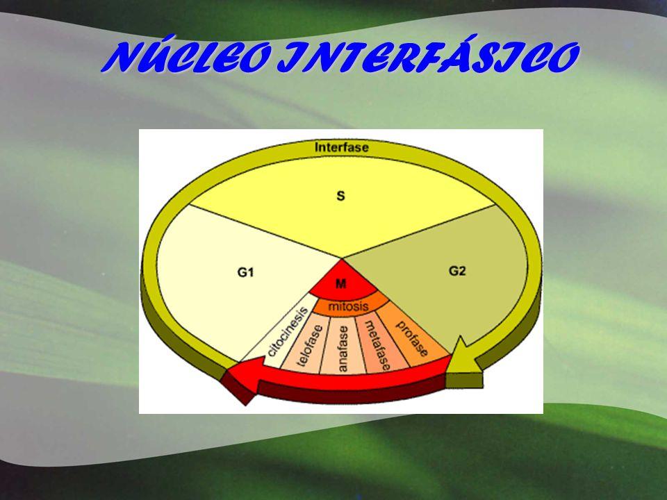 Forma y número Distintos tipos de núcleos.