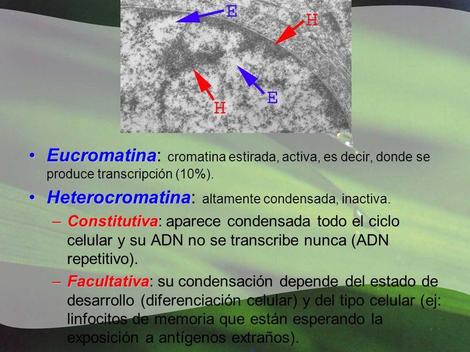 EucromatinaEucromatina: cromatina estirada, activa, es decir, donde se produce transcripción (10%). HeterocromatinaHeterocromatina: altamente condensa