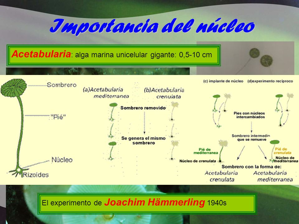 Importancia del núcleo Acetabularia : alga marina unicelular gigante: 0,5-10 cm El experimento de Joachim Hämmerling 1940s