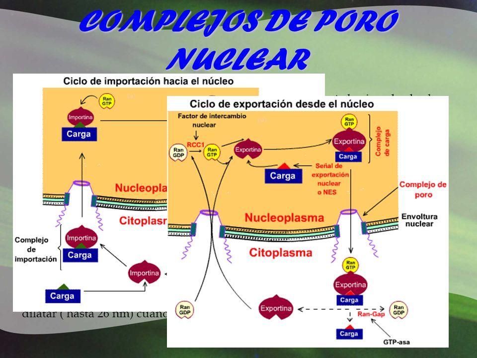 COMPLEJOS DE PORO NUCLEAR El poro tiene un diámetro efectivo de 10 nm. El transporte hacia y desde el núcleo ocurre de varias maneras: Difusión: Esto