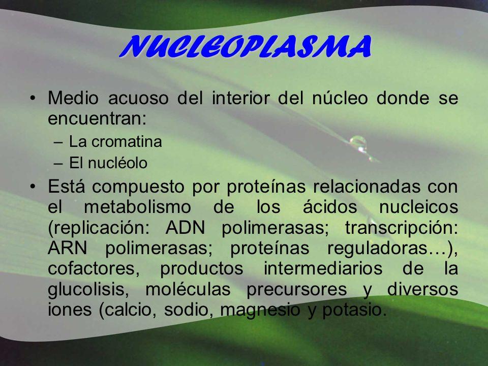 NUCLEOPLASMA Medio acuoso del interior del núcleo donde se encuentran: –La cromatina –El nucléolo Está compuesto por proteínas relacionadas con el met