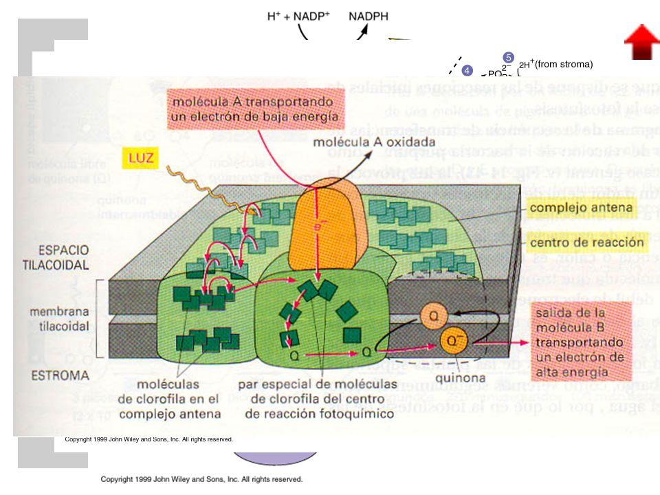 VERDE VERDE: clorofila a AZUL AZUL: clorofila b AMARILLO AMARILLO: xantofilas